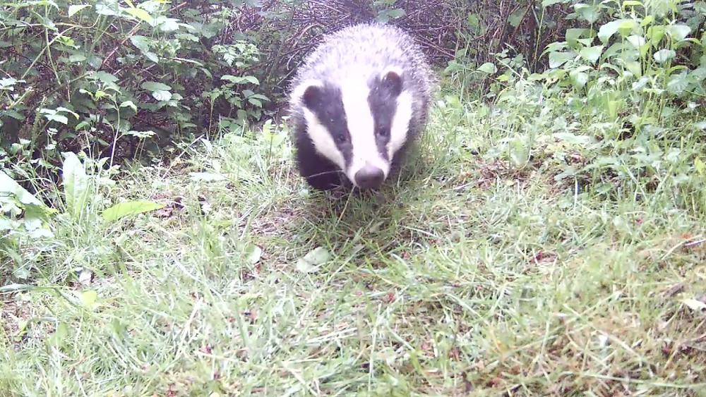 Daytime Badger_Sett2 May 21st 20.27_00004