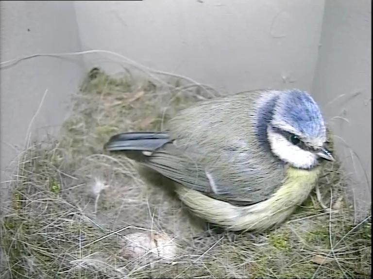 Blue tit 2 eggs 23rd April_00000