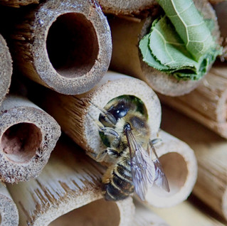 The joys of Solitary Bees!