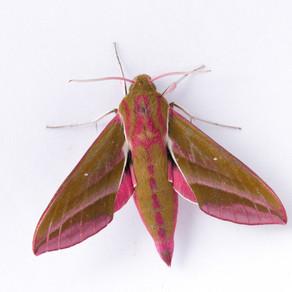 I set up my Moth Trap and catch a beauty!