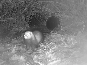 More Yew View Polecat Appearances