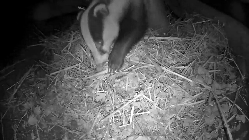 badger-rearranging-bedding-1st-nov_00001