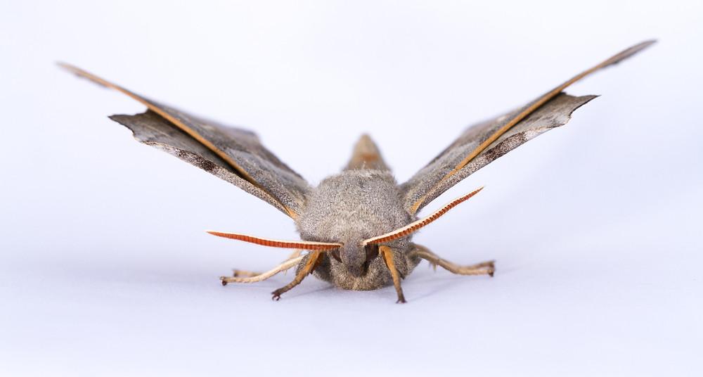 Poplar Hawk Moth-7943