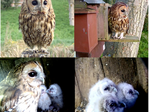 More Tawny Joy at Yew View!