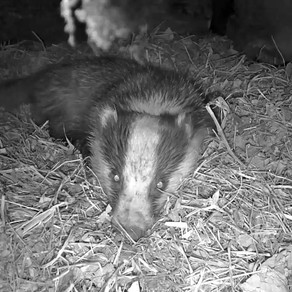 Yew View Badger Updates….