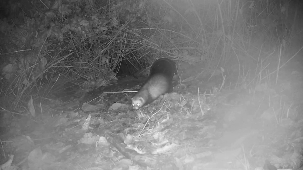 close-up-polecat-badger-sett2_00002