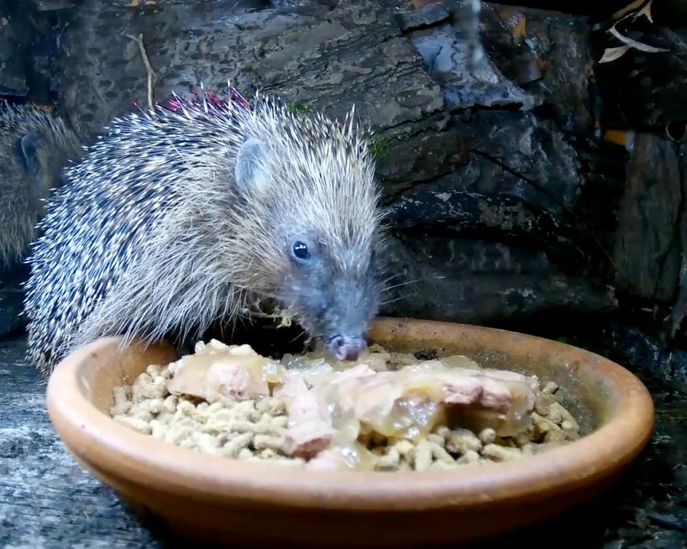 hedgehogs2_00001