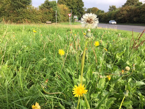 Can you get your council to set aside a 'No Mow Zone'?