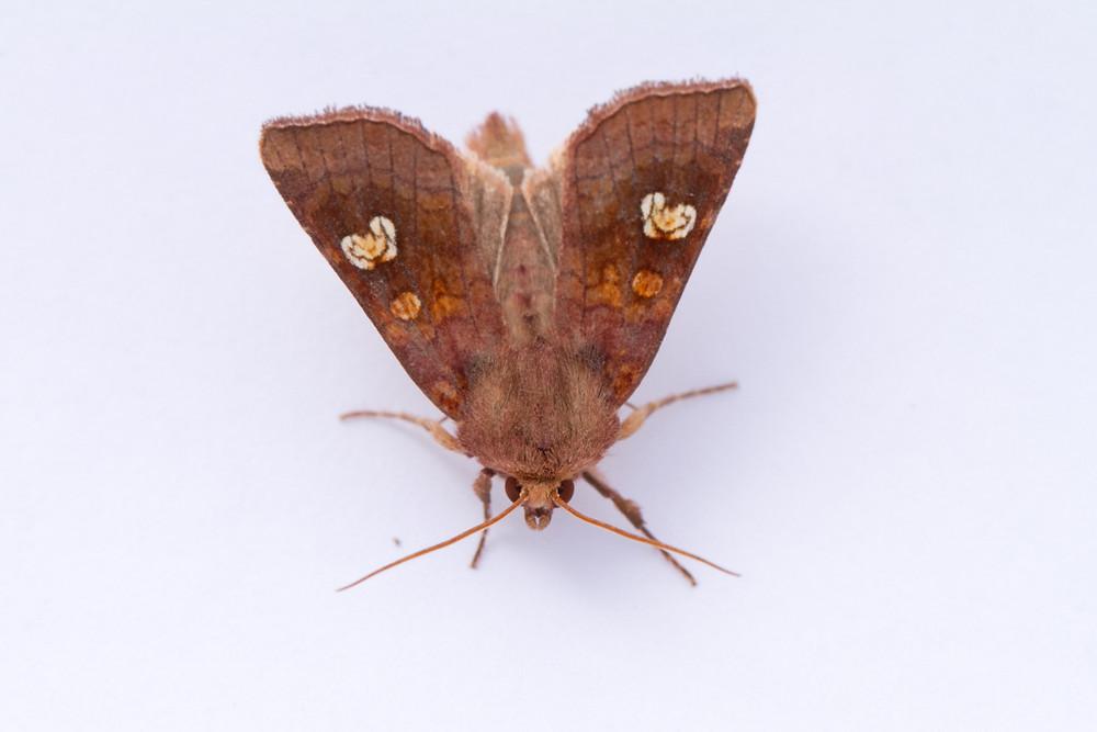 Ear Moth-7846