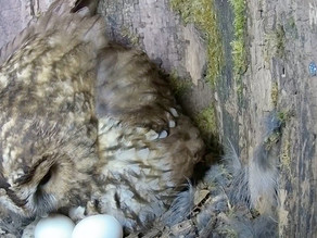 We have 4 tawny eggs and otters visiting almost every night!
