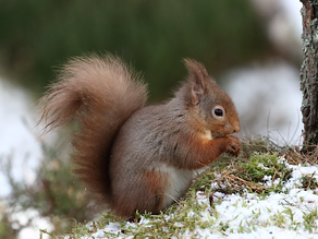 Morning; Lichfield… Afternoon; Highland Red Squirrels!
