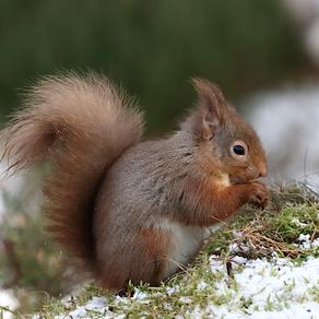 Morning; Lichfield… Afternoon; Highland Red Squirrels!