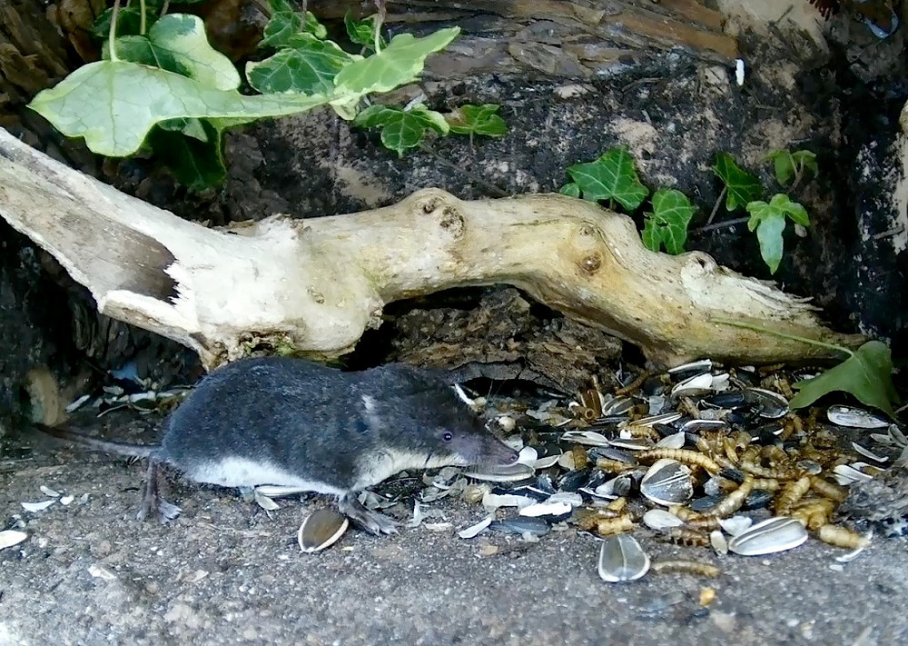 Close water shrew_00002