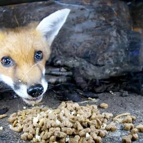 Fox Cub in a Hedgehog Feeding Box!