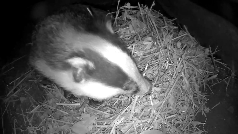 badger-bedding-1st-nov_00000