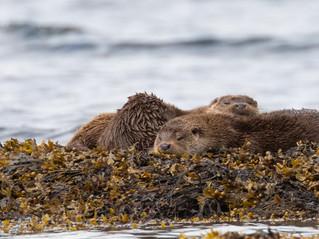 Mull Otter Joy
