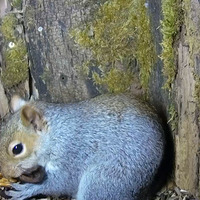 How does a squirrel open a walnut?