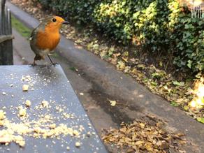 'Bobbin' the Robin – A Special Garden Companion