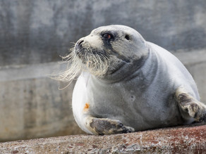 Bearded Seal and Spectacular Sea Cliffs