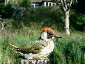 Wonderful Woodpeckers, Squirrels on the move & Swallow families