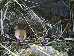 Harvest Mice discovered at Yew View!!!!