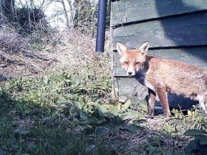 A wonderful new fox family!