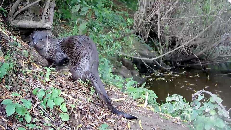 Limping otter 27th Aug 16.38_00000