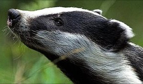 Sad Day for Badgers…..