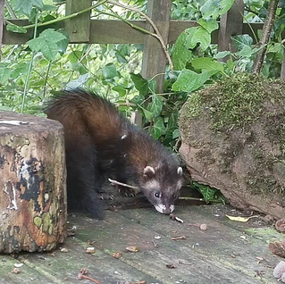 Rare Polecat Sighting in my Patch!