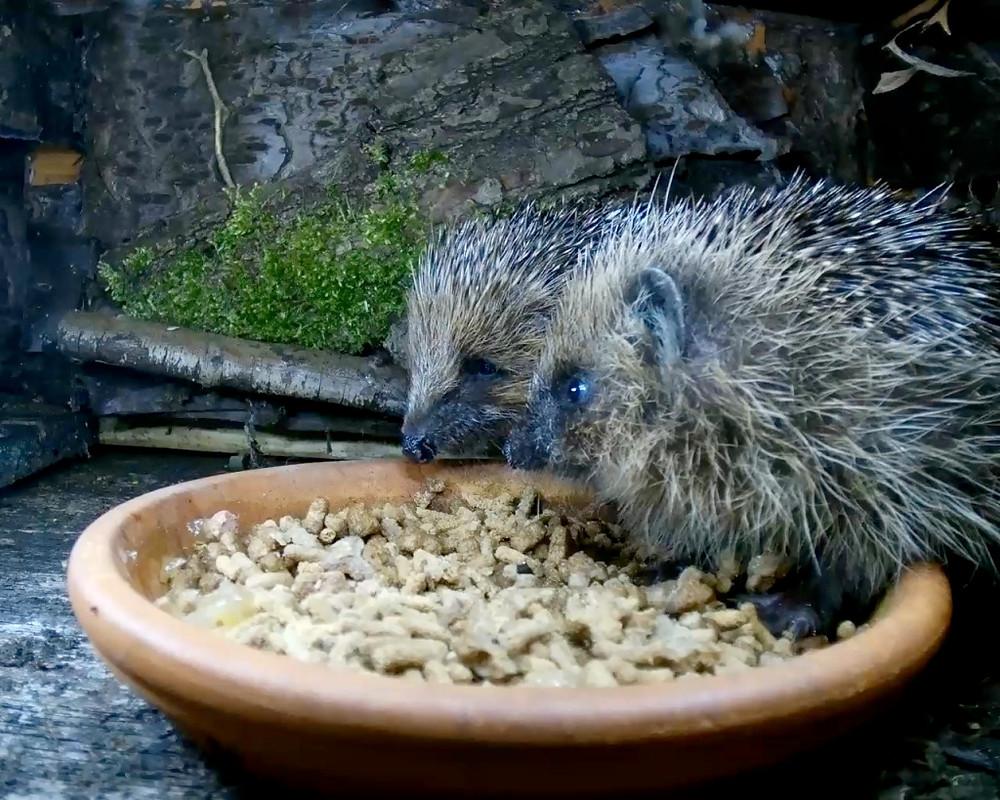 hedgehogs1_00003