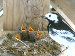 Swallows and Pied Wagtails…