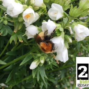 #30DaysWild – Day 25 Ultimate Shetland: Shetland Bumble Bee