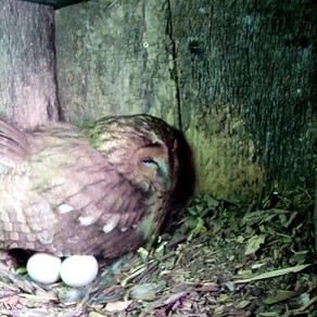 2 Tawny Owl Eggs… the excitement builds….