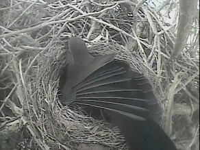 Blackbird Nest, Hedgehogs, daylight foxes…. and freezing temperatures still prevail!