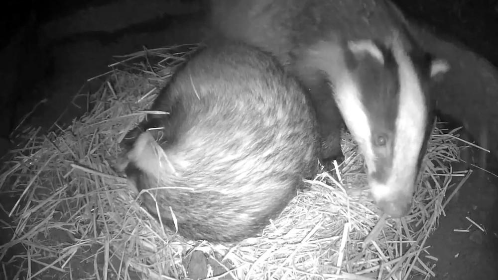 badger-sett-chamber-2-badgers-30th-sept_00006