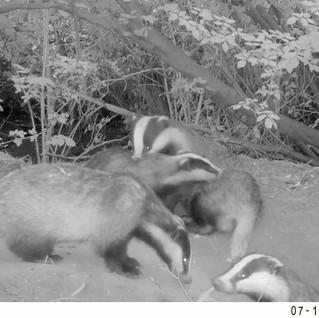 Badger Family Bonding