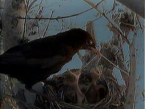 Blackbird family update