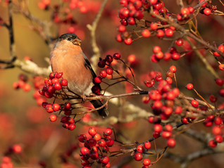 Berry Bullfinches…. Gorgeous Autumnal Colour at Hillockhead