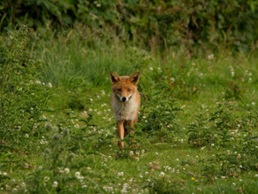 Foxes visit…. but not with cubs