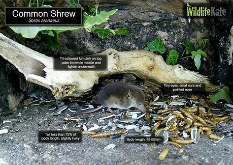 Common Shrew info.jpg