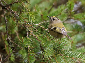 Sunday Goldcrests