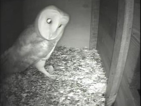 More Barn Owl Visits … with pictures!  :o)