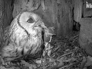 Tawny Eggs and Live Streaming