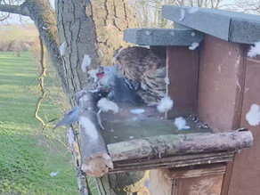 Worms, Wren... and Stock Dove... a Tawny diet