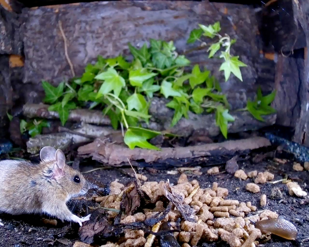 wood mouse covering food_00000