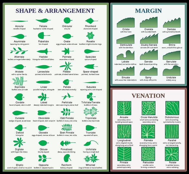 1307px-Leaf_morphology.svg.png