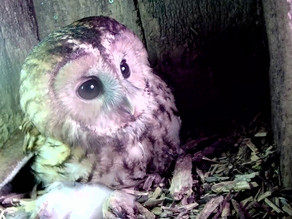 Our Yew View Tawny eggs hatch!