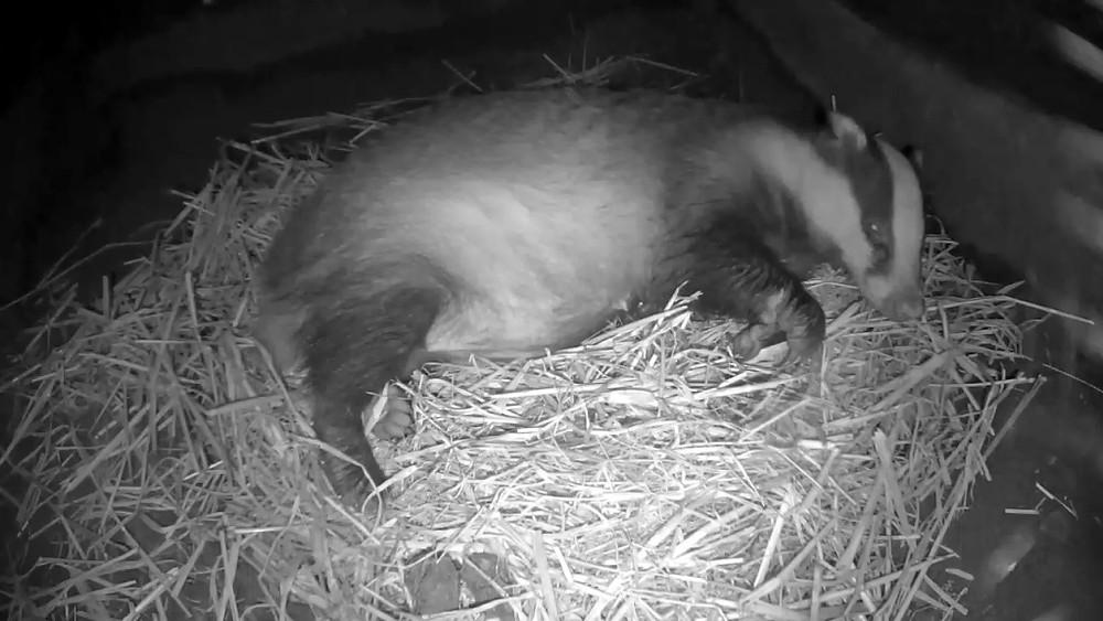 badger-sett-1-sleeping-22-21-sept-30th_00001