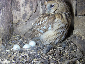 Our Tawny aborts her incubation