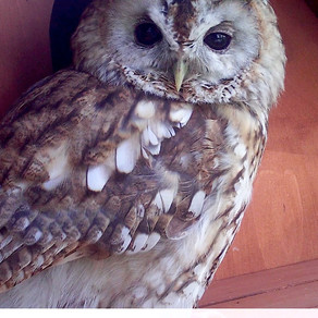 Bushnell Tawny Owl Delights at Yew View